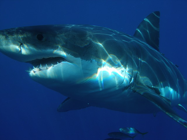 great-white-shark-398276_640.jpg